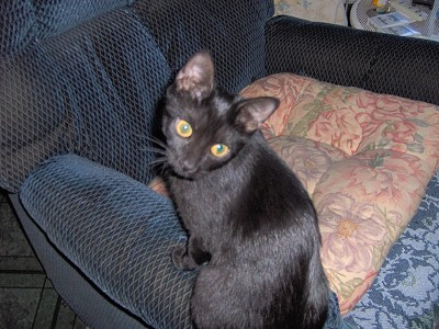 Ebony (Cat)