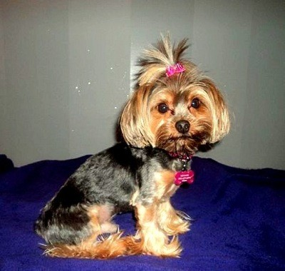 Little Bit (Yorkshire Terrier)