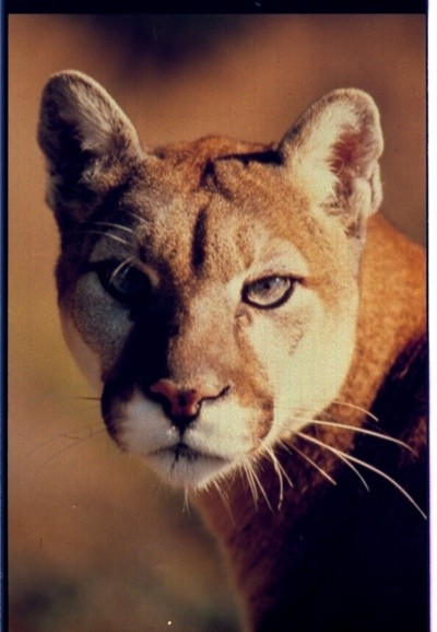 In Memory Of Jewel (Mountain Lion)