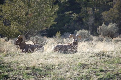 Wildlife: Rams (Wyoming)