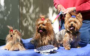 Yorkshire Terrier Breed Information And Photos Thriftyfun