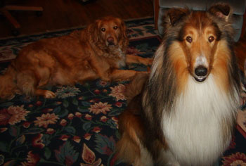 Shelby (Collie) and Jazmin (Golden Retriever)