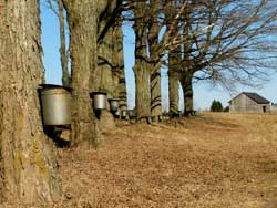 Making Your Own Maple Syrup
