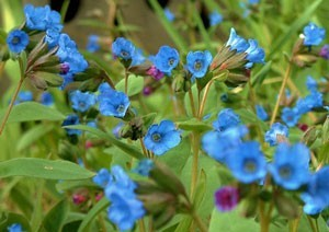 Blue Flowers In Vermont