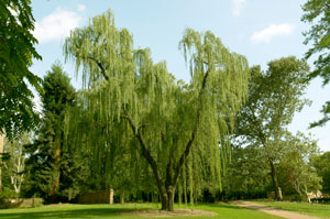 Where Can I Plant A Weeping Willow?