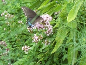 Garden: Black Swallowtail Butterfly