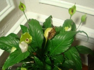 Anthurium Blooms Turning Brown Thriftyfun
