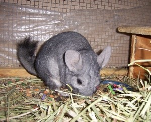 In Memory Of Dusty (Chinchilla)