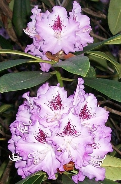 Garden: Rhododendrons In Spring