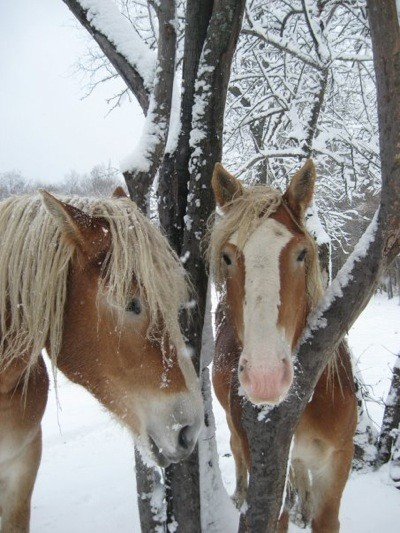 Scenery: Horses In Cattaraugus County (New York State)