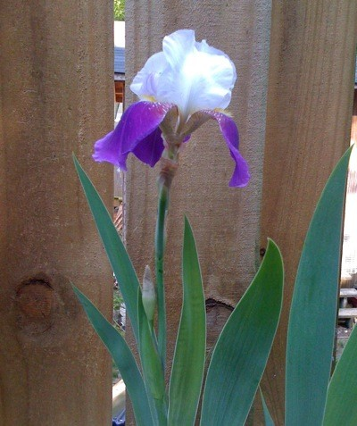 Bearded Iris (Rare Treat)