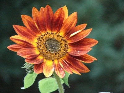 Garden: Sunflower