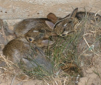 Wildlife: Baby Bunnies