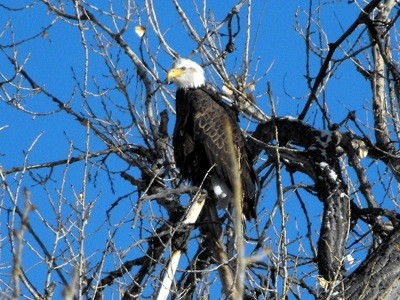 Wildlife: Eagle