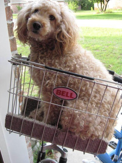 Scooter (Cockapoo)