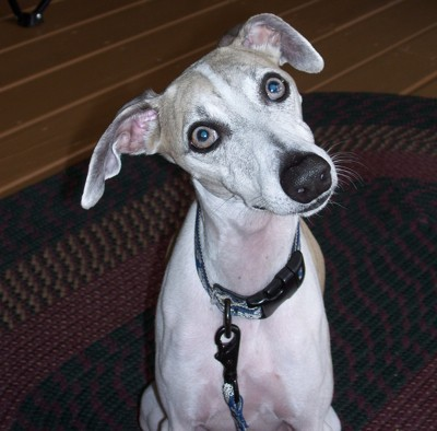 Bailey (Whippet)