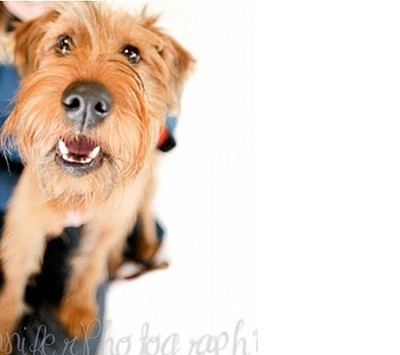 Brady (Irish Terrier)
