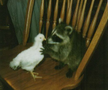 Sam the Raccoon and the chick