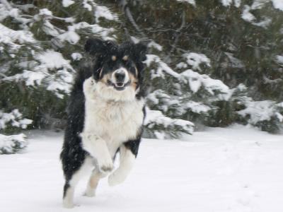 RE: Gordi (Bernese Mountain Dog/Great Pyrenees)