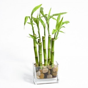 Image result for potted Bamboo