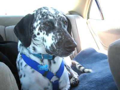 RE: (German Short-haired Pointer/Dalmatian) - Charlie
