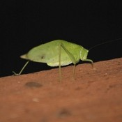 A leaf bug crawling on a wooden beam.