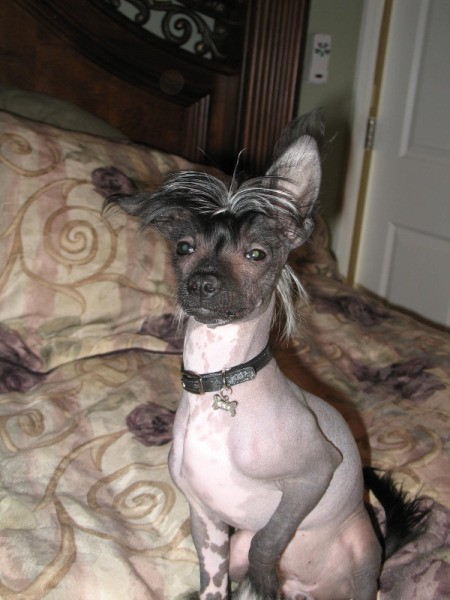 A Chinese Crested dog on a bed