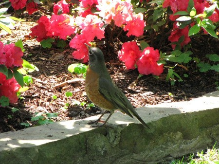 Photo of Robin in Azalea Garden