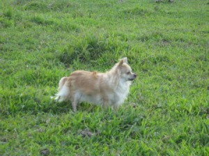Long Haired Chihuahua in grass
