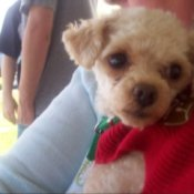 A toy poodle with a red scarf.