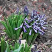 photo of Hyacinths