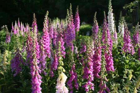 photo of Foxgloves