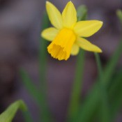 photo of tiny daffodils
