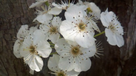 Cluster of white Apple Blossoms