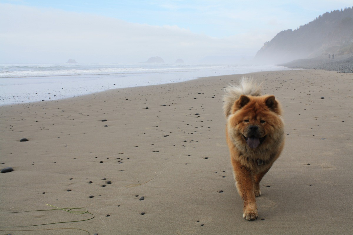 Chow Chow Breed Information and Photos | ThriftyFun