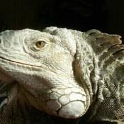 Sambo (Iguana)