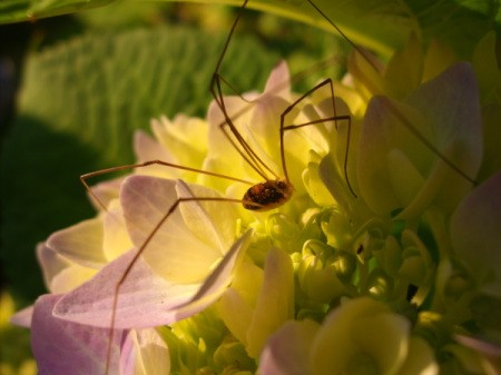 Daddy Longlegs and Flower