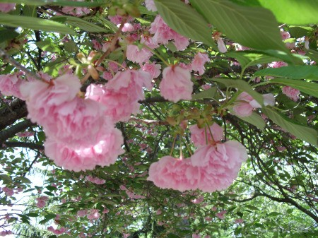 Pink fluffy flowers growing in the spring.