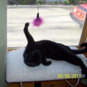 Luna (Bombay Kitten)