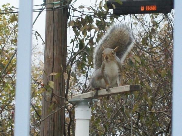Squirrel on top of birdfeeder
