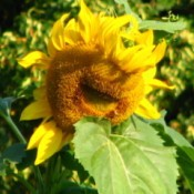 Large sunflower with apparent smile.