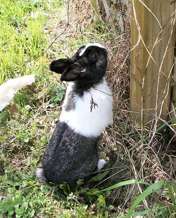 Black and white pet rabbit.