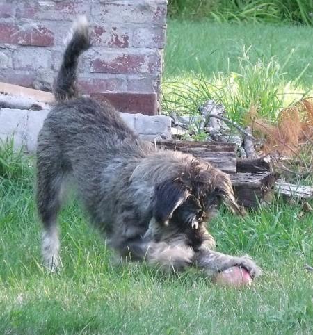 Dog playing outside.