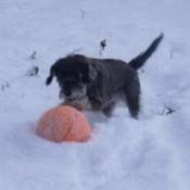 Dog playing in the snow.