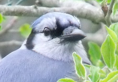 A close up of a blue jay.