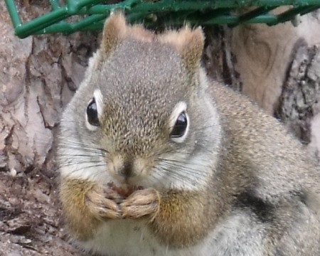 A close up of a squirrel.