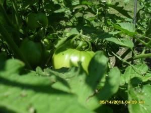 A photo of a green pumpkin growing in a garden.