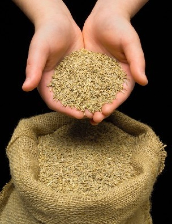 Hands Full of Grass Seed