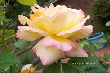 Photo of Yellow and Pink Roses