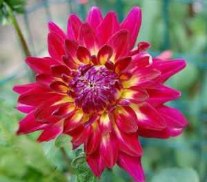 closeup photo of dahlia flower